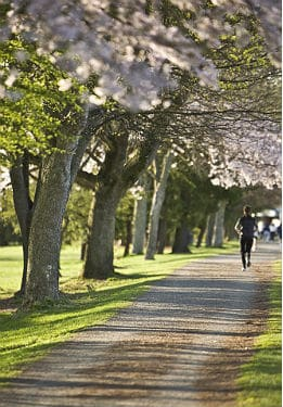 A runner jogging down a wooded path with white flowering trees and green grass.